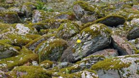 Wildflower blooms among the moss covered rocks in Franz Josef Glacier valley